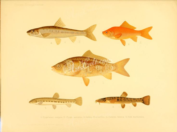 Common Carp, Goldfish, Gudgeon, Spined Loach, Stone Loach      ...