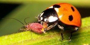 Mariquita : eficaz combate biológico del pulgón.