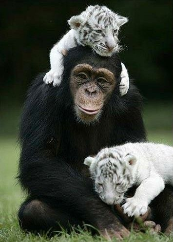 Sharing timeWhite Tigers, Animal Friendship, Monkeys, Tiger Cubs, Funny Animal, New Mom, Tigers Cubs, Lion Cubs, South Carolina