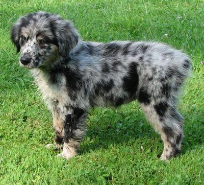 Australian Retriever.. soo cute! my perfect dog. it's a hybrid of a golden retriever and an australian shepherd