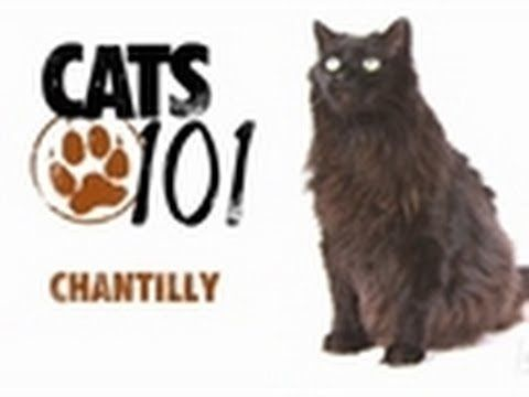 We're pretty sure that our cat is one of these... very cool! Chantilly | Cats 101