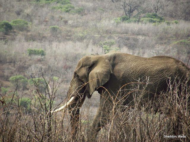 Elephant on our Durban Day Safari Tour to the Hluhluwe Imfolozi Game Reserve