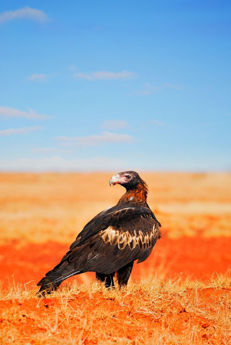 The Wedge-tailed Eagle (Aquila audax) is the largest raptor in Australia and the most common of all the world's large eagles.