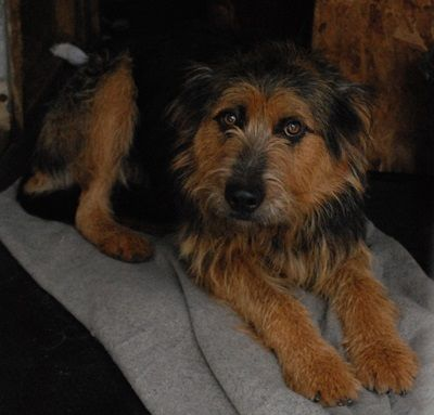 """bearded collie airedale terrier mix"" - Google Search ..."