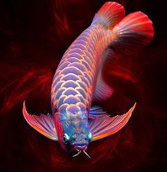 """Chili Red Arowana ~ Miks' Pics """"Sea Life lll"""" board @ http://www.pinterest.com/msmgish/sea-life-lll/"""