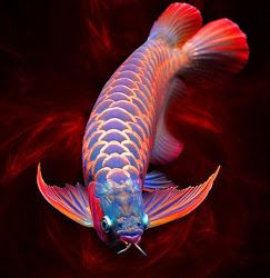 "Chili Red Arowana ~ Miks' Pics ""Sea Life lll"" board @ http://www.pinterest.com/msmgish/sea-life-lll/"