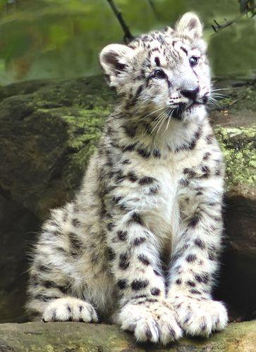 Snow Leopard Cub by Steve Daggar, via Flickr