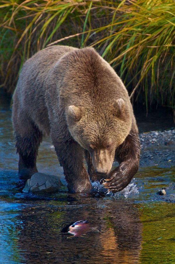 Kodiak Alaskan brown bear eyeing up a salmon dinner. #Bear #Grizzly