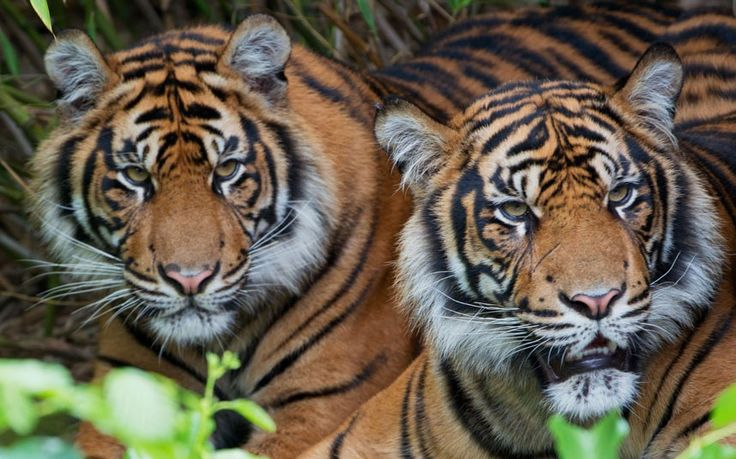 A pair of Sumatran tigers in their enclosure at the zoo in FrankfurtBeautiful Cat, Animal Lovers, Animal Warriors, Animal Pictures, Boris Roessler, Sumatran Tigers,  Panthera Tigri, Animal Gallery, The Zoos