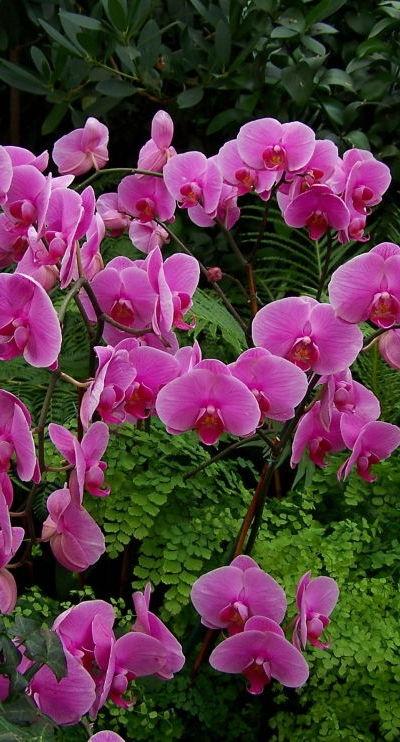 Gorgeous Phalaenopsis