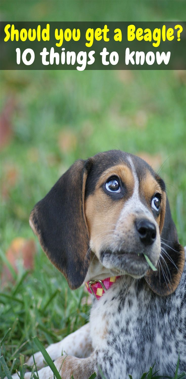 10 Things You Need To Know Before Getting A Beagle Beagle Puppy Tips How Big Do Beagles Get Pocket Beagle Full Grown Beagle Puppy Beagle Facts Beagle Dog