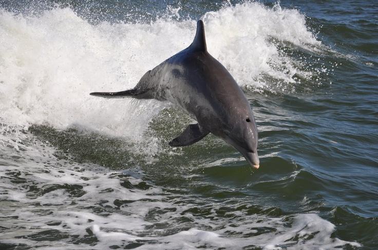 Flying Dolphin near Sanibel Island - Love dolphins and love sanibel!!