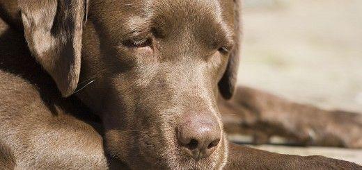 Labrador Adulte Marron