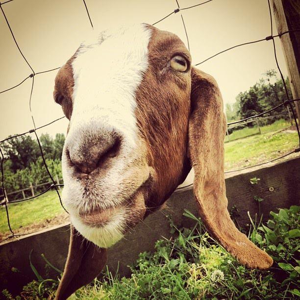 778 Best Goat Farm Images On Pinterest: 128 Best Images About Goats On Pinterest