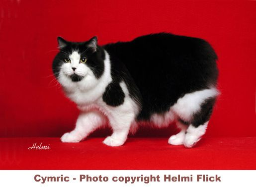Cymric from Pictures of cats