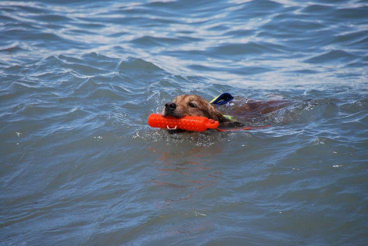 Il riporto nel salvataggio nautico sportivo è un fondamentale utile alla costruzione della maggior parte degli esercizi in acqua. I cani da riporto sono ovviamente avvantaggiati in questo tipo di lavoro.  http://www.freedog.it/addestramentocani/inspiration/salvataggio-nautico-sportivo/