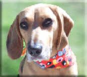 OMG look at that lovely face - ok I know I am biased cos she's my dog, but really - look - at the face - gorgeous :D  Beagle in a bandana - awww