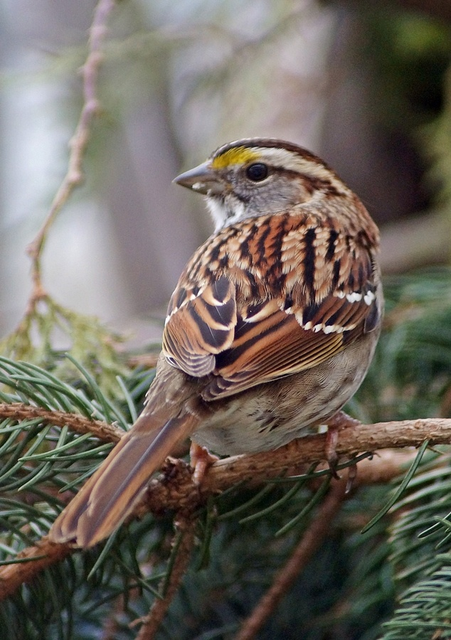 White Throated Sparrow - had one of these little ones having breakfast beneath my feeder this morning.
