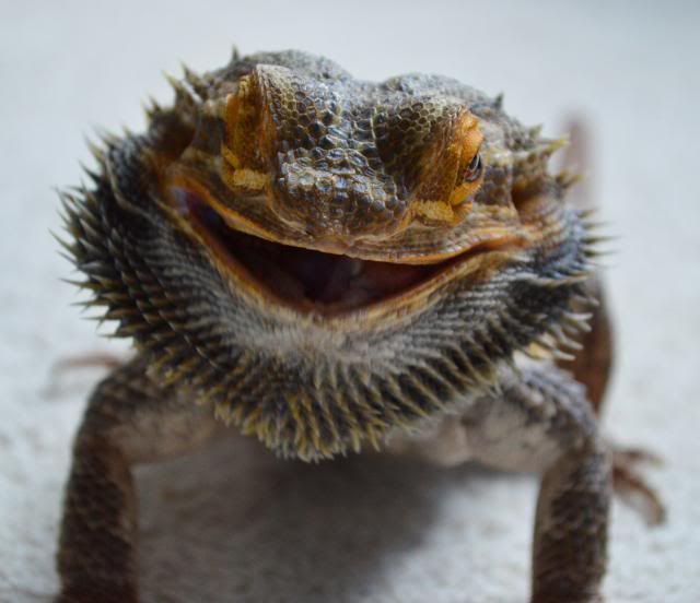107 Best Images About Bearded Dragon On Pinterest