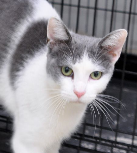 Gigi is an adoptable Domestic Short Hair - gray and white Cat in Gardena CA Gigi is a 7 month old sleek beautiful gray and white kitten. She was recently saved from a hig ... ...Read more about me on @petfinder.com