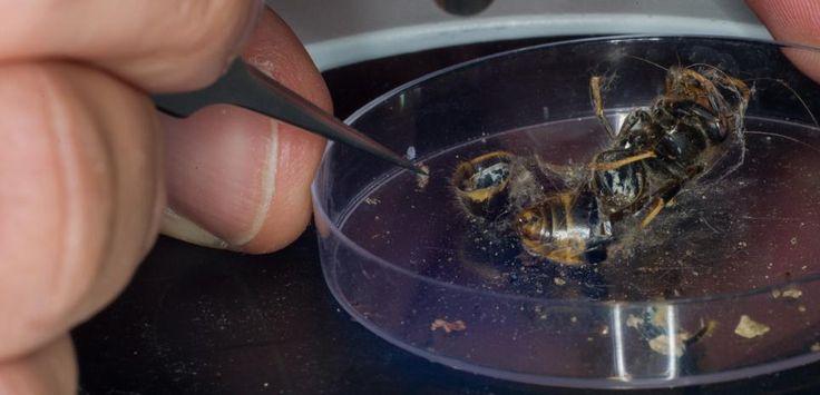 Alors que les frelons asiatiques continuent de tuer les abeilles, les apiculteurs mettent au point des pièges ingénieux. Mais à défaut de les tuer, ces dispositifs favorisent la survie des frelons les plus costauds.