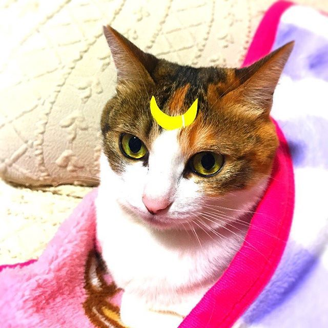 ハロウィンなのでセーラームーンのルナ兼アルテミス🌙 飼い主がセーラームーンになれないかわりに🐈  #ハロウィン #仮装 #セーラームーン #ルナ #アルテミス #ルナ兼アルテミス #月 #意外とつけても平気 #仮装の意思なし #猫 #ねこ #ねこ部 #三毛猫 #猫のいる暮らし #ニャンダフルライフ #にゃんだふるらいふ #愛猫 #instagood #cat #catstagram #ilovemycat #halloween #sailormoon #costume #instacool #instacat #instacute #ilovecats #ilovepets
