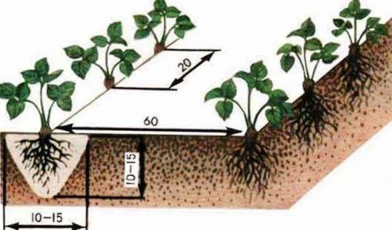 Выращивание ремонтантной клубники: посадка и уход, фото, выбираем