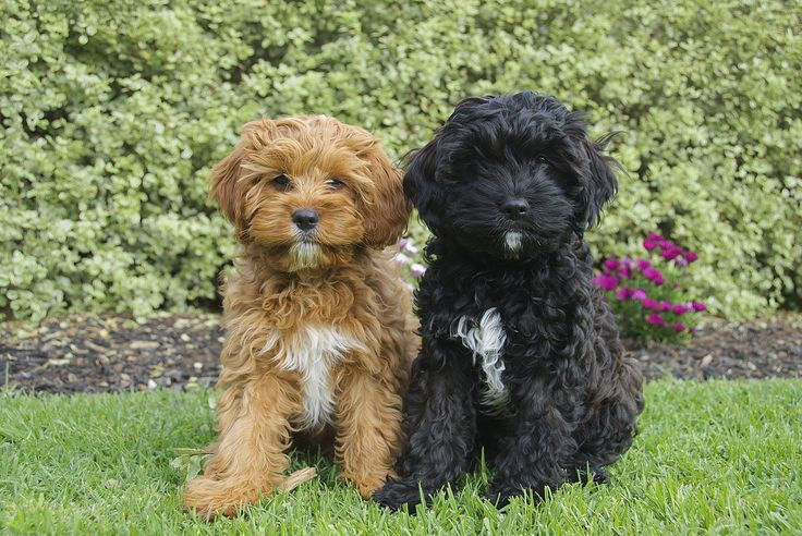 Red and black toy cavoodles Pocket Puppies in their New