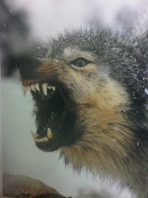 Agression!Angry Wolf, Wild Animal, Cups Of Coffe, Female Face, Wolves, Wolf Teeth, Dark Paradise, Beautiful Creatures, Fairies Tales