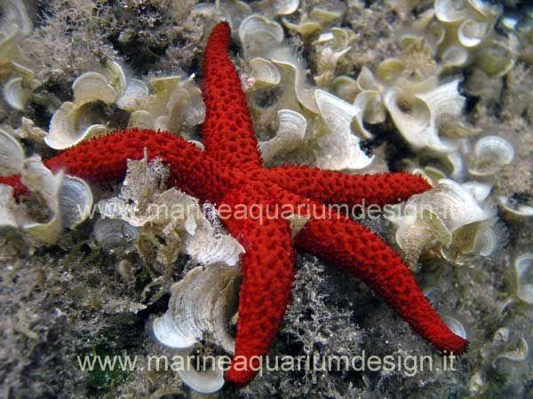 Echinaster sepositus - stella di mare rossa - per acquario marino Mediterraneo http://www.marineaquariumdesign.it/