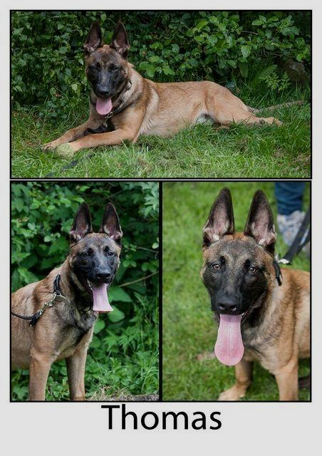 Pin By Virginia A Witman On Belgian Shepherd With Images Belgian Shepherd Belgian Shepherd Puppies Dog Adoption