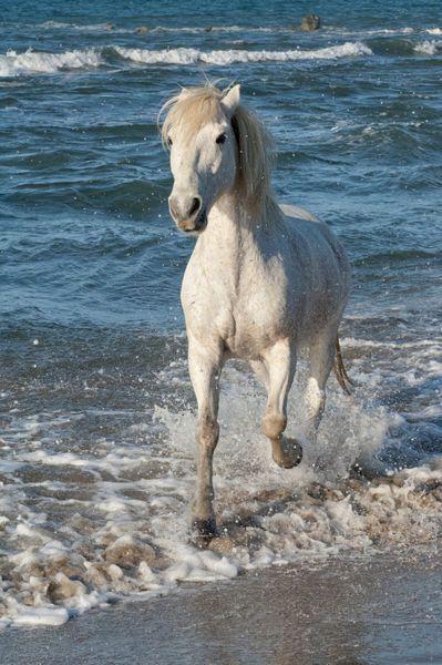 Beautyful Camargue Horse
