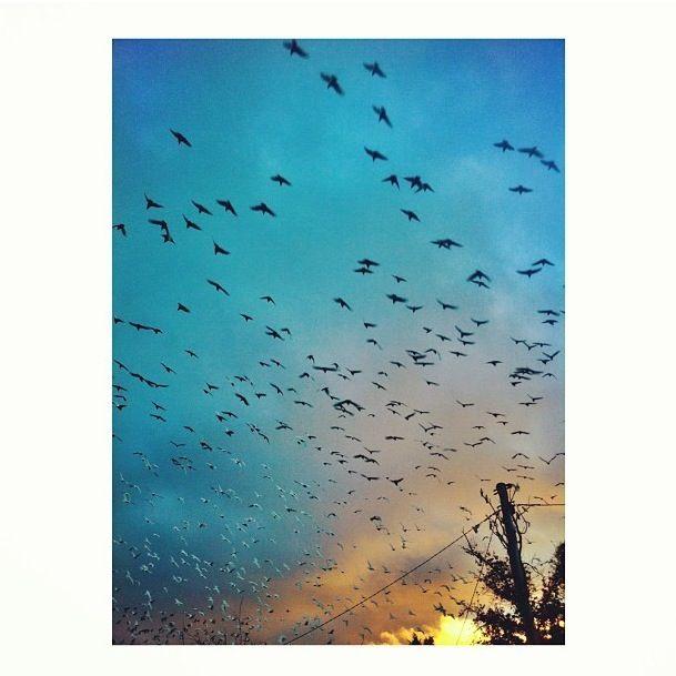 Cockatoos at sunrise, Castlemaine, Victoria.  (C) Diamondskullsss photography.