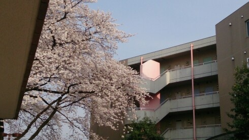 Sakura near the Koganei international dormitory