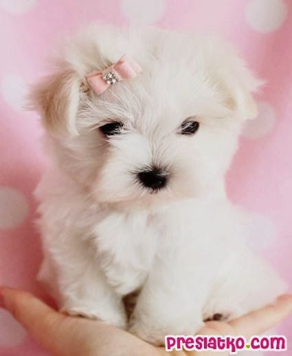 """Top 10 Smallest Dog Breeds  From your friends at phoenix dog in home dog training""""k9katelynn"""" see more about Scottsdale dog training at k9katelynn.com! Pinterest with over 19,500 followers! Google plus with over 128,000 views! You tube with over 400 videos and 50,000 views!! Serving the valley for 11 plus years"""