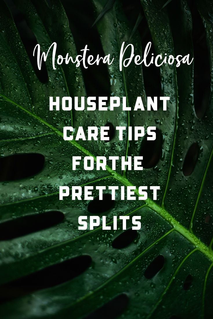 My Monstera Deliciosa Houseplant Care Tips For The Prettiest Splits House Fur Monstera Deliciosa House Plant Care Monstera