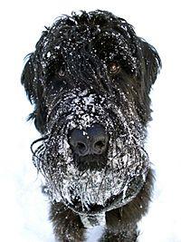 Snowy # Riesenschnauzer