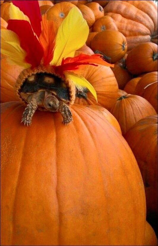 Tortoise Thanksgiving turkey costume | All About Tortoises ...