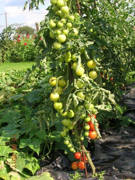 Урожай помидоров, повторение!     Не ожидал такого интереса к моим помидорам…  По просьбе технологию в студию…  Сорт помидоров называется ТОРНАДО, мне нравится этот сорт, помидоры не растут большие,…