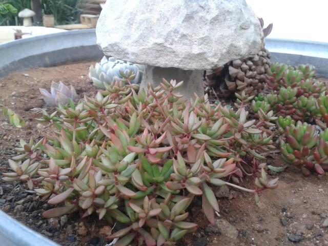Pretty succulent ground cover