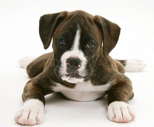 boxer puppies brindle | White Brindle Boxer Dog