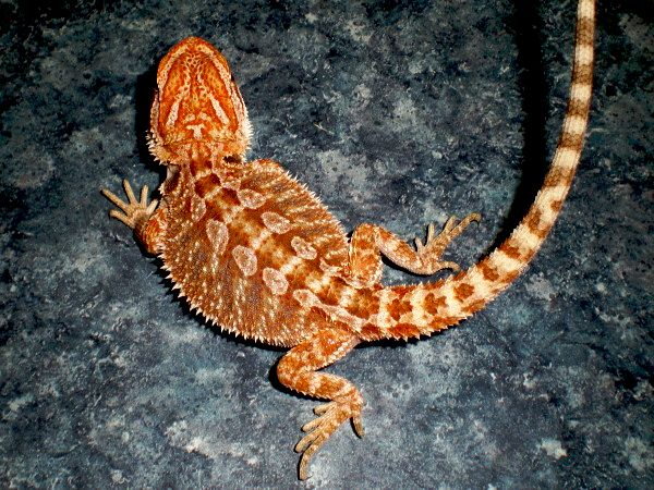 CRIMSON SUPER BLOOD BEARDED DRAGON  ITEM #CSB82788 3   MONTH 7   INCHES MALE