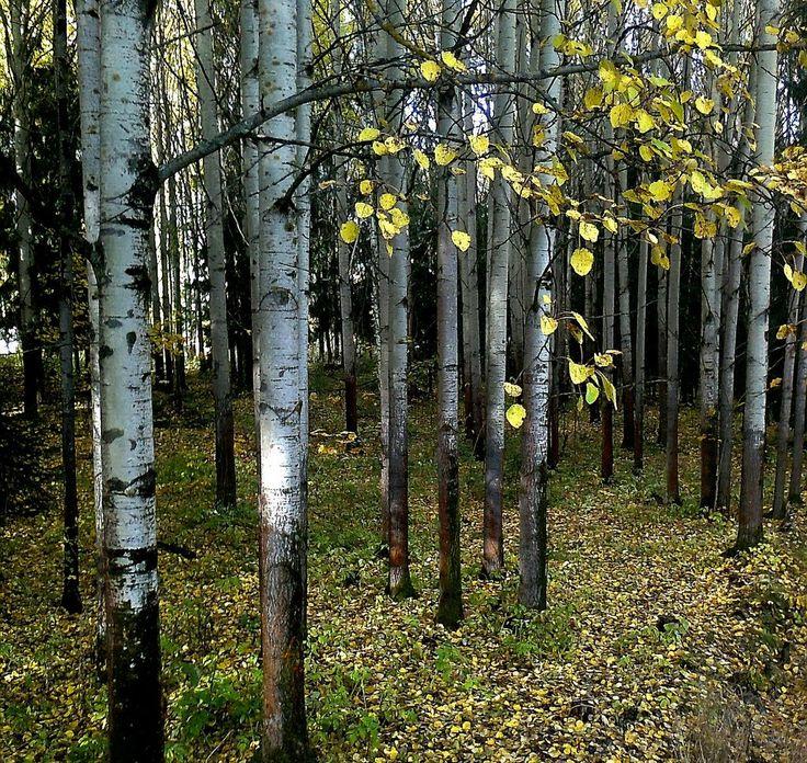Aspen forest. - Kerava, Finland.