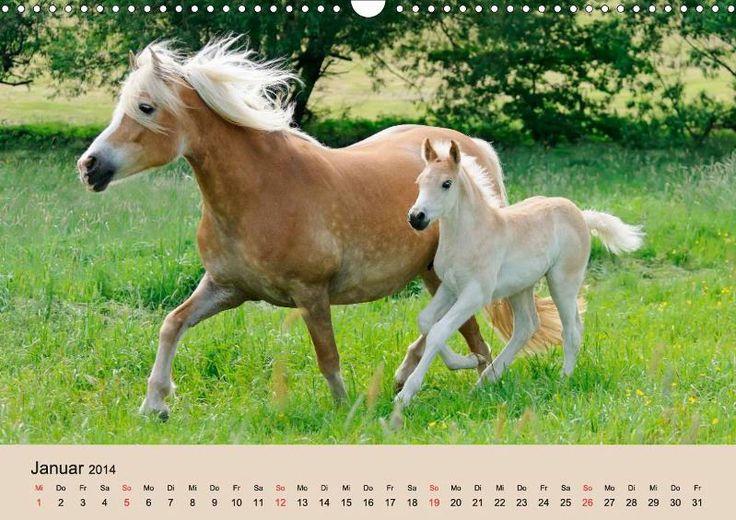 Haflinger Fohlen - #Kalender CALVENDO Calendar #Haflinger foals, photographed by Katho Menden