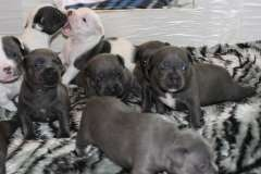 Blue English Staffy Pups (New Photo's!). Staffordshire Bull Terrier puppies for sale in Australia at www.pups4sale.com.au