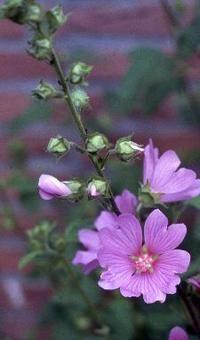 Lavatera 'Rosea' - Lavatera - Plantenindex | Tuinieren.nl