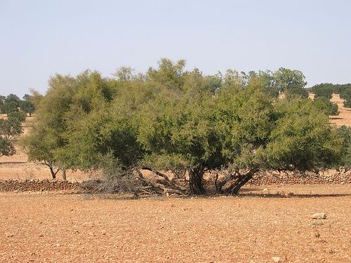 Argan tree - Near Essaouira...