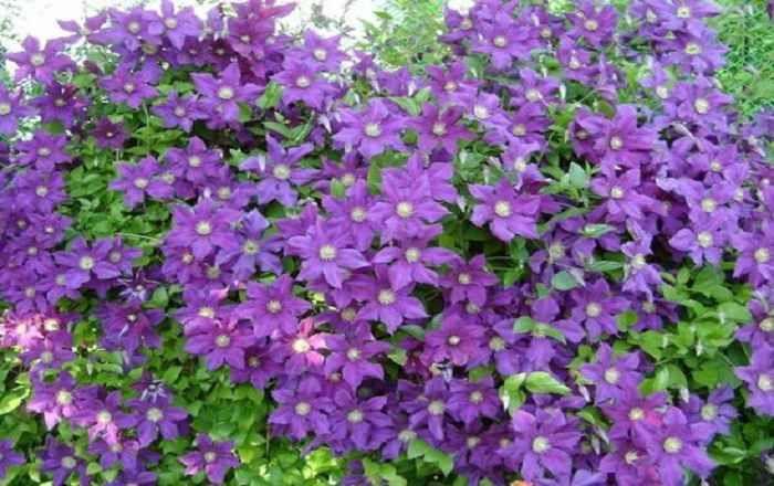 Чтобы заставить эти лианы обильно и долго цвести, опытные цветоводы используют простые хитрости! Дву
