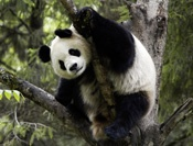 The giant panda is the rarest member of the bear family and among the world's most threatened animals.    There are less than 1,600 in the wild.  WWF. Adopt. Donate. Save the pandas!