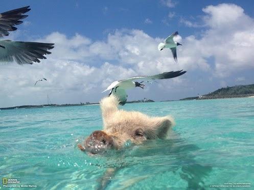 Биг Мэйжор Кей - остров, на котором не живут люди, зато это место облюбовали... домашние свиньи! Что они там делают? Узнайте в сегодняшнем «Факте»: www.nat-geo.ru/article/3836